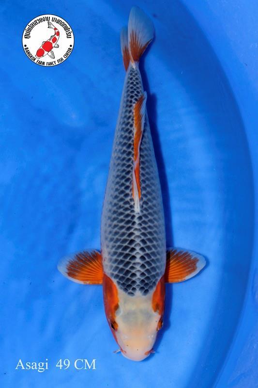 ปลาคาร์ฟ Asagi Bangkok Farm