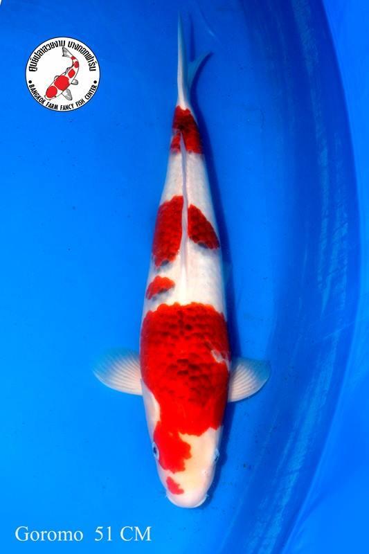 ปลาคาร์ฟ Goromo Bangkok Farm