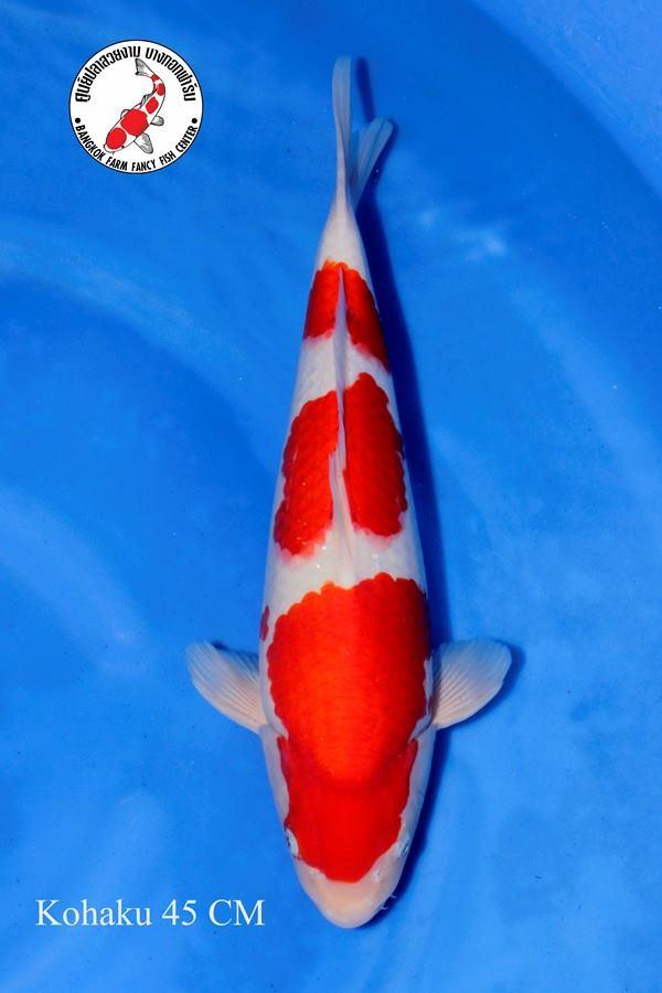 ปลาคาร์ฟ Kohaku Bangkok Farm