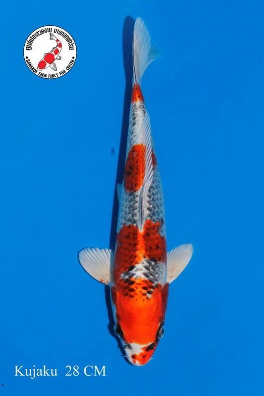 ปลาคาร์ฟ Kujaku Bangkok Farm