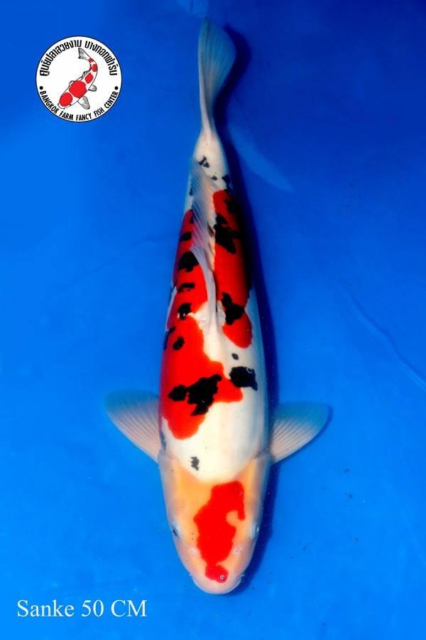 ปลาคาร์ฟ Sanke Bangkok Farm