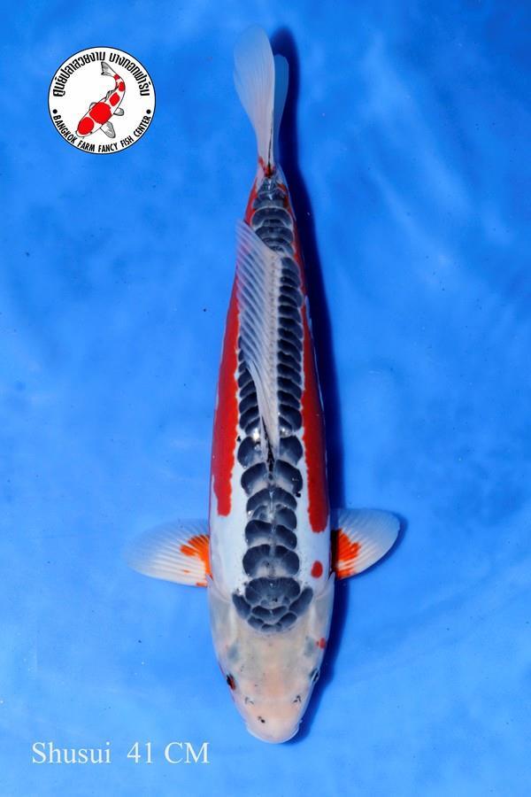 ปลาคาร์ฟ Shusui Bangkok Farm
