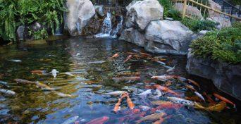 koi-in-a-pool-merebrook-pondplants-1080x675